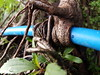 Blue Overgrown Plastic Water Pipeline Root Philippines Banaue © (hn.) Tags: asia asien banaue blau blue bluepipe car copyright copyrighted cordilleraadministrativeregion cordilleras heiconeumeyer hose ifugao ifugaoprovince leitung luzon overgrown ph philippinen philippines pipe pipeline republicofthephilippines republikangpilipinas rohr rohrleitung root southeastasia südostasien taman umwachsen wasserleitung waterpipe wurzel überwachsen überwuchert