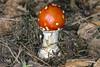 Fly Agaric, Avon Heath Country Park, Dorset, UK (rmk2112rmk) Tags: flyagaric avonheathcountrypark dorset mushroom fungi agaric toadstool amanita muscaria macro dof