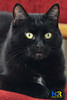 Black Cat (Nikon Ranger) Tags: black blackpussy blackpussycat pussy pussycat cat pet paw red nikon nikond800e