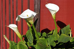 Calla Lilies-7DWF (Sarah_ES) Tags: 7dwf florafriday lily red flower bloom white line group