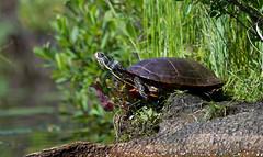 Painted Turtle (sarasonntag) Tags: manitowish river wisconsin turtle painted water outdoor kayak kayaking paddling summer 2017 july