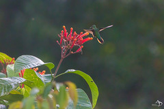 Harmonie (alain_did) Tags: nature guyane amazonie colibri beauté outdoors