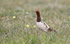 Willow Ptarmigan (Cameron Darnell) Tags: ptarmigan birding birds tundra poppy flower cameron tamron 2017 canon summer june alaska nome ak nature animal wild wildlife