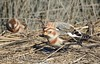 Unflattering Stillframe (GoldenEagle754) Tags: snowbunting bunting winter newjersey atlanticcounty edwinbforsythenationalwildliferefuge edwinbforsythenationalwildliferefugebrigantineunit birdwatching bird birder birding birds flock wildlife nature outdoor outdoors outside animal creature