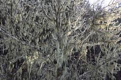 More lichen than tree (rozoneill) Tags: north bank dear management area habitat roseburg glide wilbur blm umpqua river oregon hiking