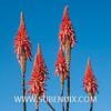 Aloe pluridens, Jardi Botanic de Barcelona (SUBENUIX) Tags: aloepluridens barcelona crassulaceae jardibotanicdebarcelona parcsijardins suculentas xanthorrhoeaceae zpaisaje subenuix subenuixcom