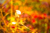 Waiting for My Time to Come (moaan) Tags: leicasummicronf20dr kobe hyogo japan january winter leaves driedleaves alive stillalive colors colorful dof depthoffield bokeh bokehphotography 50mm leica leicaphotography leicamp type240 summicron50mmf20dr utata 2018