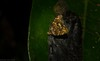 Choreutis metallica (dustaway) Tags: arthropoda insecta lepidoptera choreutidae choreutismetallica metalmarkmoth australianmoths australianinsects rainforest rprr rotarypark lismore nature northernrivers nsw australia