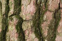 IMG_1365b (Naturecamhd) Tags: canonpowershotsx700hs sx700hs newyorkbotanicalgarden japaneseblackpine rossconiferarboretum nybg nybotanicalgarden botanicalgarden bronx thebronx nature green eco trees conifer