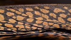 Golden_Pheasant_Tail-muc (Guyser1) Tags: feather tailfeathers goldenpheasant westyellowstone nikond3200