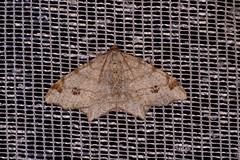 Eckflügelspanner (planetvielfalt) Tags: auenwald lepidoptera schkeuditz sachsen deutschland