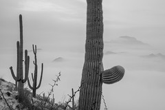 Tum029_small (patcaribou) Tags: tucson tumamochill sonorandesert fog cactii saguarocactus