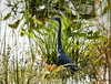 02-20-18-0004299 (Lake Worth) Tags: animal animals bird birds birdwatcher everglades southflorida feathers florida nature outdoor outdoors waterbirds wetlands wildlife wings