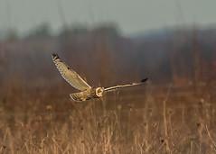 Short-eard Owl ( Asio flammeus ) (Dale Ayres) Tags: shorteared owl asio flammeus bird nature wildlife flying