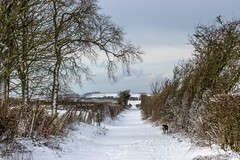 Kiri by the other hedge (allybeag) Tags: snow beastfromtheeast crosby winter weather kiri dog tree trees lonning westlonnning lane path hedges