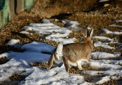 Run rabbit run! Surprisingly efficient camouflage which matches the conditions. (alcowp) Tags: museum snow winter invalides lapin rabbit france paris