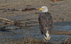 Perched #1 (nickinthegarden) Tags: americanbaldeagle baldeagle eagle nicomenslough fraservalley bc canada
