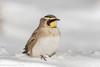 Handsome Snowbird (rdroniuk) Tags: birds smallbirds passerines hornedlark eremophilaalpestris oiseaux passereaux alouettehaussecol
