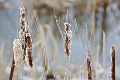 Winter Cattails (pecooper98362) Tags: binghamton newyork broomecounty fallonroad wetlands thomascreek marsh winter cold winterwetlands cattails typha fluffy bolandpond