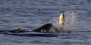 Porpoise with a Large Trout