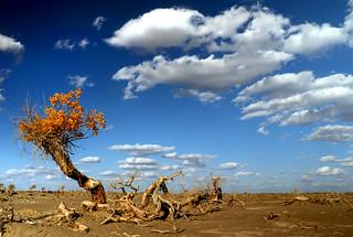 Populus euphratica 胡楊樹