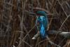 Kingfisher. (stonefaction) Tags: kingfisher birds nature wildlife montrose basin angus scotland