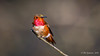 Allen's Hummingbird (Bob Gunderson) Tags: allenshummingbird birds california goldengatepark hummingbirds northlake northerncalifornia sanfrancisco selasphorussasin coth coth5