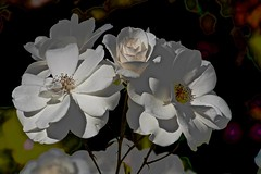 White Roses (iseedre) Tags: whiteroses blossoms petals pollen leaves