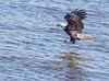 Eagle Shoot - Le Claire, IA - 2018 Feb - bks-2323 (Brian Sprague Photography) Tags: bird cold largebird leclaire mississippiriver transportation water winter eagles baldeagle