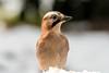 Eurasian Jay  -  Eichelhäher (CJH Natural) Tags: bird pose snow jay crow detail feathers wildlife nature eye portrait profile