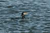 Greater (martytdx) Tags: birds cormorant greatcormorant phalacrocoraxcarbo phalacrocorax anhingidae january nj birding winterbirding barnegatlighthousesp barnegatlighthouse barnegatlight barnegat