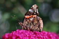 Butterfly (Hugo von Schreck) Tags: hugovonschreck schmetterling butterfly falter macro makro insect insekt buzznbugz canoneos5dsr tamron28300mmf3563divcpzda010