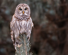 Owl Eyes... (ragtops2000) Tags: owl barred eyes winter piercing pose portrait colorful wildlife raptor
