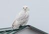 Snowy Owl (vischerferry) Tags: snowyowl owl grasslandbird whitebird raptor nycteascandiaca fortedwardgrasslands newyorkstate