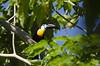 Toucan Play at this Game (J. E. Foster) Tags: caribbean nikond5100 sigma150500mmf563dgoshsm tortuga trinidadandtobago animal bird nature wildlife channelbilledtoucan
