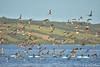 WCH_2817 (volatila) Tags: quellón xregion decimaregion décimaregión regionloslagos chiloé chiloe carreterapanamericana naturaleza naturelife nature travel viaje zarapito zarapitopicorecto bandada aves pájaros bird