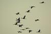 Voyage, voyage! (D.Haineaux) Tags: crane grues kranich ardenne migration wild bird oiseaux vogel