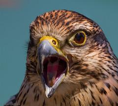 Disagreeing... (Glenn van Windt) Tags: falcorusticolus gyrfalcon giervalk aves bird vogel birdofprey roofvogel raptor falcon valk portrait portret nature natuur canonef300mmf28lisusm