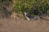 The Gray wolf. (Noor Hussain.) Tags: wildlifeofpakistan wildlife wwf wild bbc iucn himalaya sky clouds mountain common white winter water animal art perfect pakistan wildanimals nikkor nikon nature natgeo noorhussain ngc noor new national farm fence air contrast dof depthoffield detail eyes grey green great indus jungle bukkeh lake outdoor pond tree texture yellow grass forest cat bear mammal landscape rock gray wolf graywolf canis lupus canislupus timber timberwolf westernwolf western