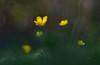 (inge_rd) Tags: trioplan meyeroptik 2 8100 flower wiese gelb