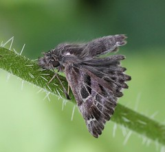 Carcharodus alceae (Hesperiidae) (Renko Usami) Tags: hesperiidae lepidoptera insecta arthropoda
