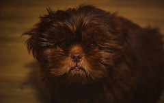 Dog-0528b (EB_Creation) Tags: dog dof puppy shihtzu shihtzucentral nikon nikond7100 d7100 sigma sigma170700mmf2840