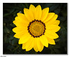 (Ken Mickel) Tags: floral flower flowers flowersplants gazania kenmickelphotography plants blossom blossoms closeup garden gardens nature photography upclose