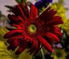 roja y gualda. Mi querida España. (M,L.C.*) Tags: macrofotografía brillante flor color flores