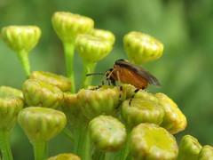 +IMG_6088 Repcedarázs (Athalia rosae) gilisztaűző varádics (Tanacetum vulgare) virágán_cr (NagySandor.EU) Tags: repcedarázs athaliarosae gilisztaűzővarádics varádics tanacetumvulgare