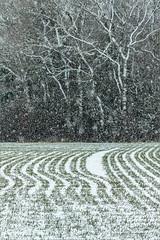 Snow shower (Beardy Git) Tags: snow canoneos7dmarkii telephoto ef70300mmf456lisusm landscape field tree wood graphic littlegidding hunts uk