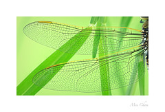 Dragonfly Wings (Meu :-) (Offline)) Tags: dragonflywings dragonfly macro pattern texture translucent