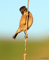 Just Peeking! (Peter J. Ham.) Tags: stonechat chat bird life nature avies aves oiseaux vogel england country hunting perching stalk