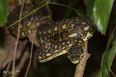 Carpet Python (R. Francis) Tags: carpetpython moreliaspilota dorrigo dorrigonationalpark nsw newsouthwales northernnsw midnorthcoast ryanfrancis ryanfrancisphotography
