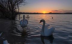 Sunset (murphy197) Tags: sunset nikond610 tokina1116mm ireland lake swans